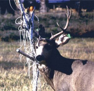 A buck got tangled in a portable clothesline in November after being untangled from fiberglass meshing in October.