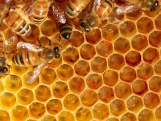 Bees hard at work in the hive.