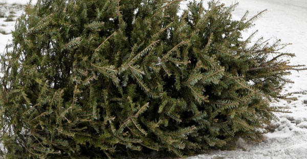 Have a Merry and Eco-Friendly Christmas: Recycle Your Tree