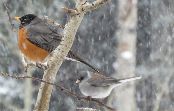 robin, birds, bird watching, feeder, bird feeder