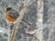 robin, birds, bird watching, feeder, bird feeder