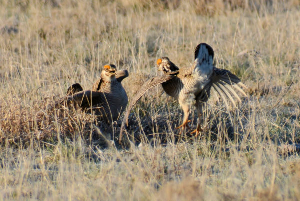Two male lesser prairie chickens spar in a mock battle as they try to display dominance in their effort to win a mate.