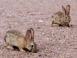 """The Larimer County Department of Health and Environment has confirmed tularemia in a rabbit in northern Larimer County. Tularemia, also known as """"rabbit fever"""" has been found across the county in previous years and has resulted in human cases. Soil can be contaminated by tularemia-causing bacteria from the droppings or urine of sick animals, usually from rabbits."""