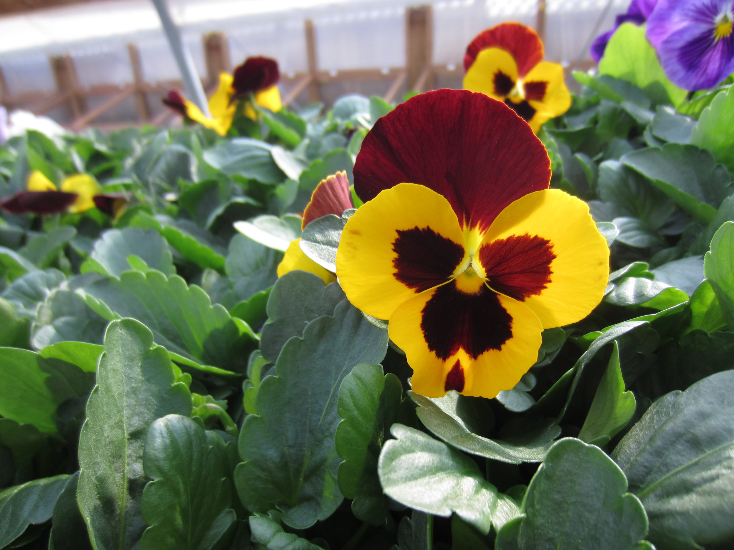North Forty Gardener Cool Season Annuals In The Spring